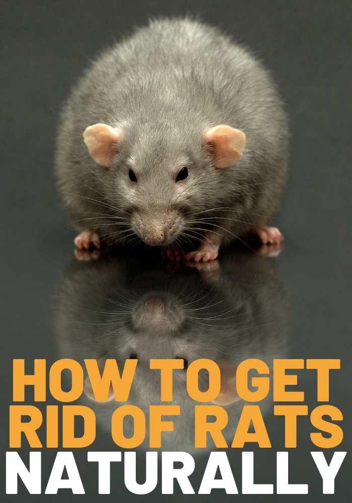 get rid of rats naturally natural rat remedies