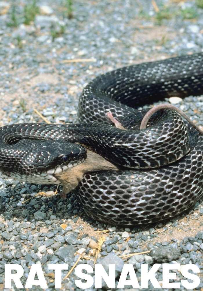 rat snake natural remedy rats