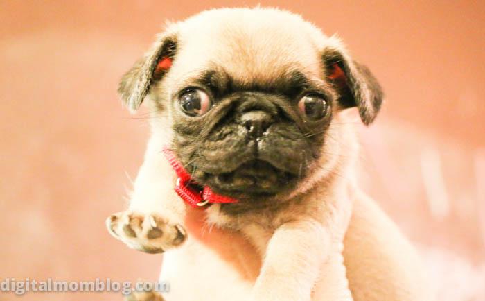 Pug puppy photos