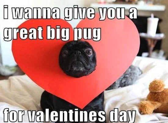 I wanna give you a great big pug for valentines day - funny valentine meme